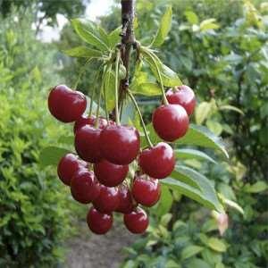 сорта-вишни