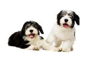 dog-polish_lowland_sheepdog-two_gorgeous_polish_lowland_sheepdogs_ready_to_play