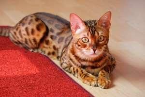 large-wild-cat-breeds
